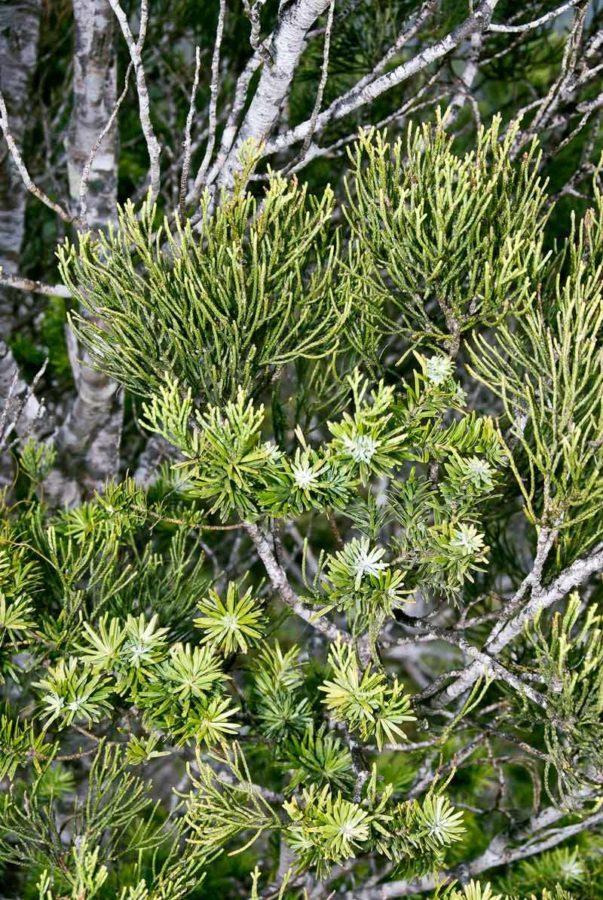Juvenile and adult foliage