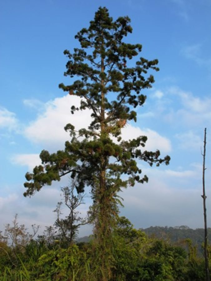 Old-growth tree, Nakai Plateau Lao PDR