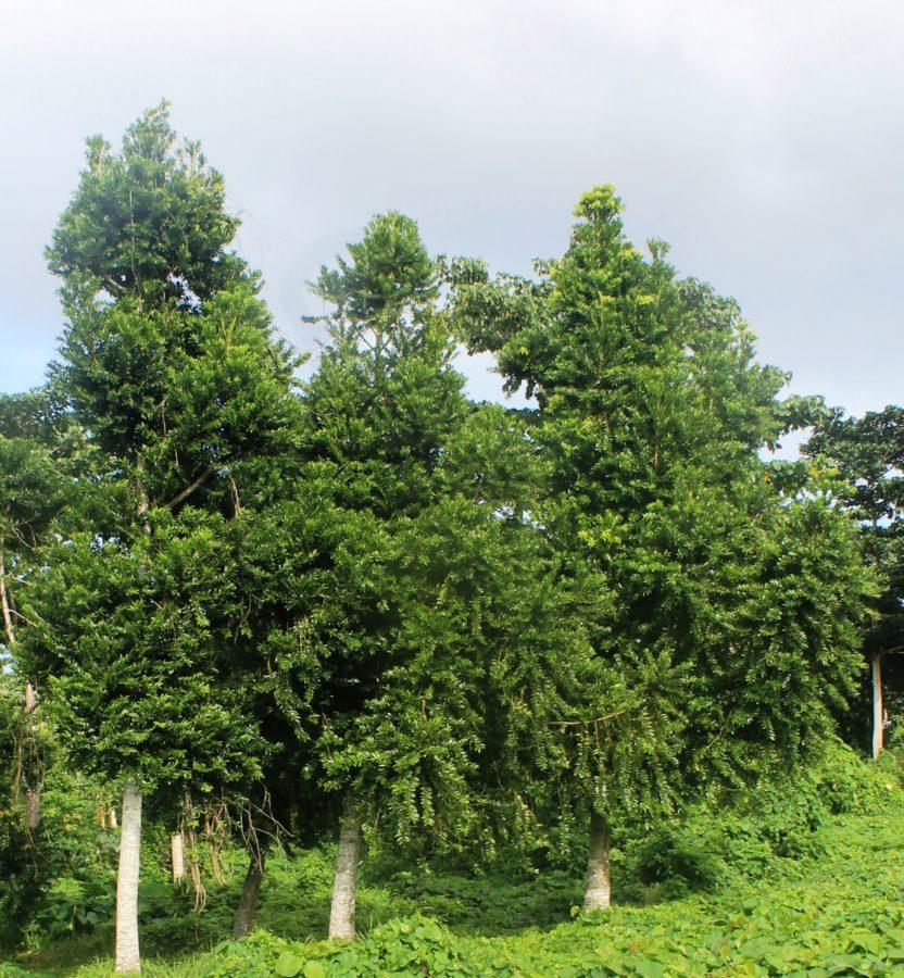 Plantation near Port Vila Vanuatu