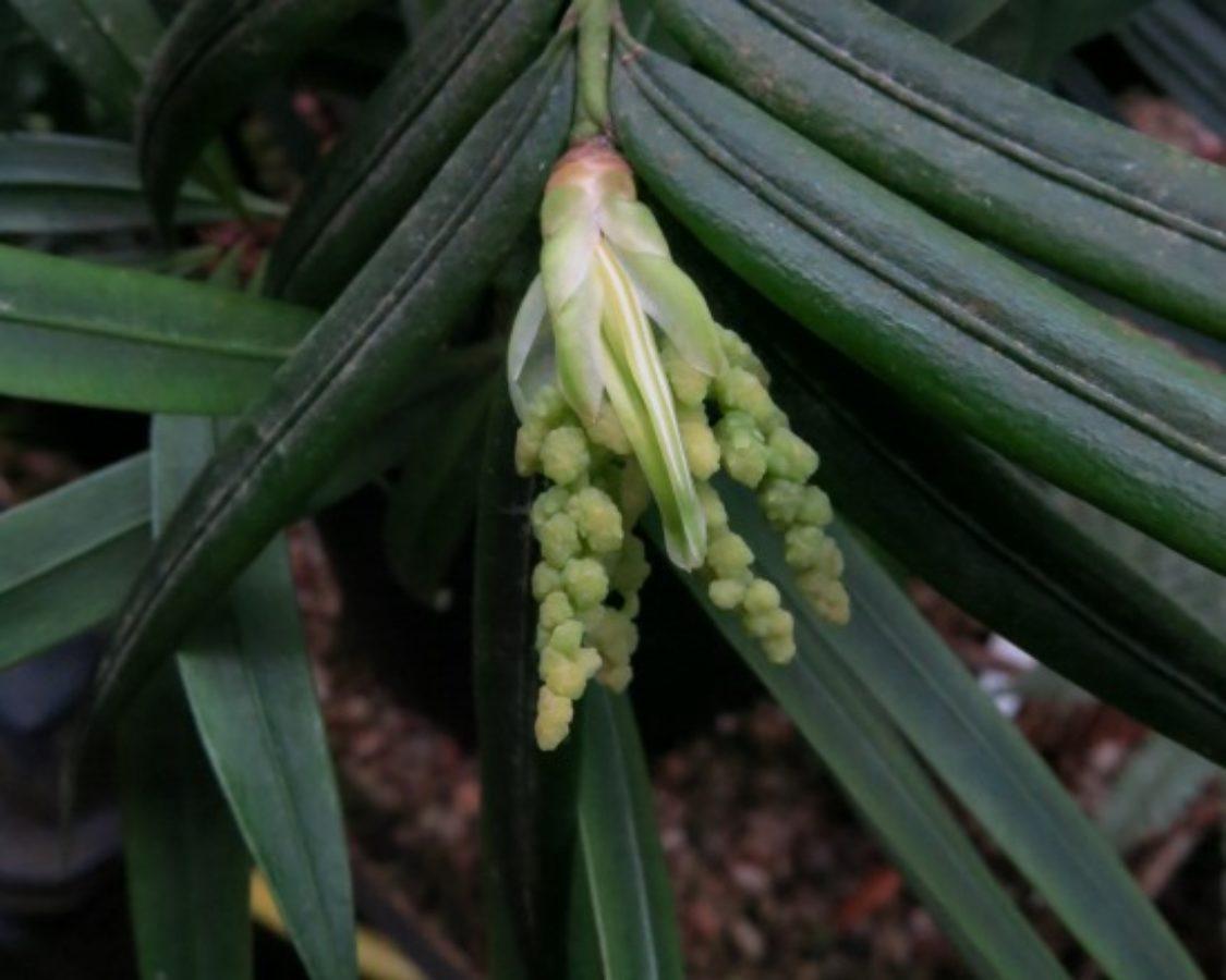Developing male pollen cones