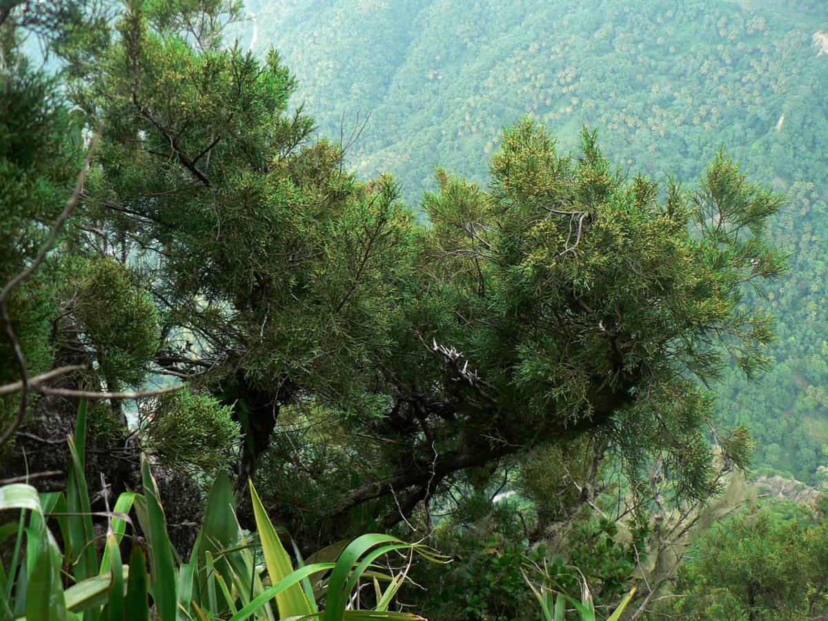 Mature tree on summit of Petite Piton