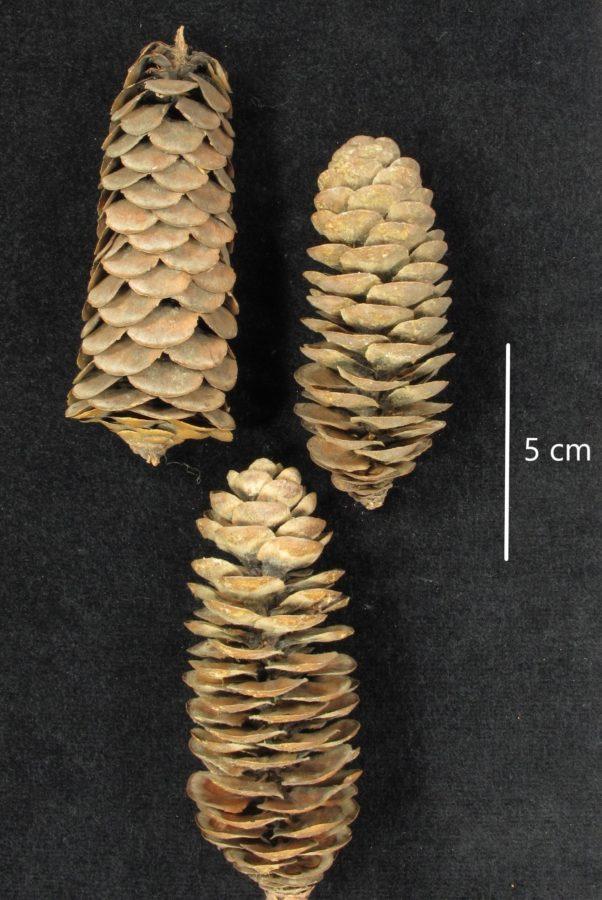 Siskiyou Mountains.Ex RBGE herbarium