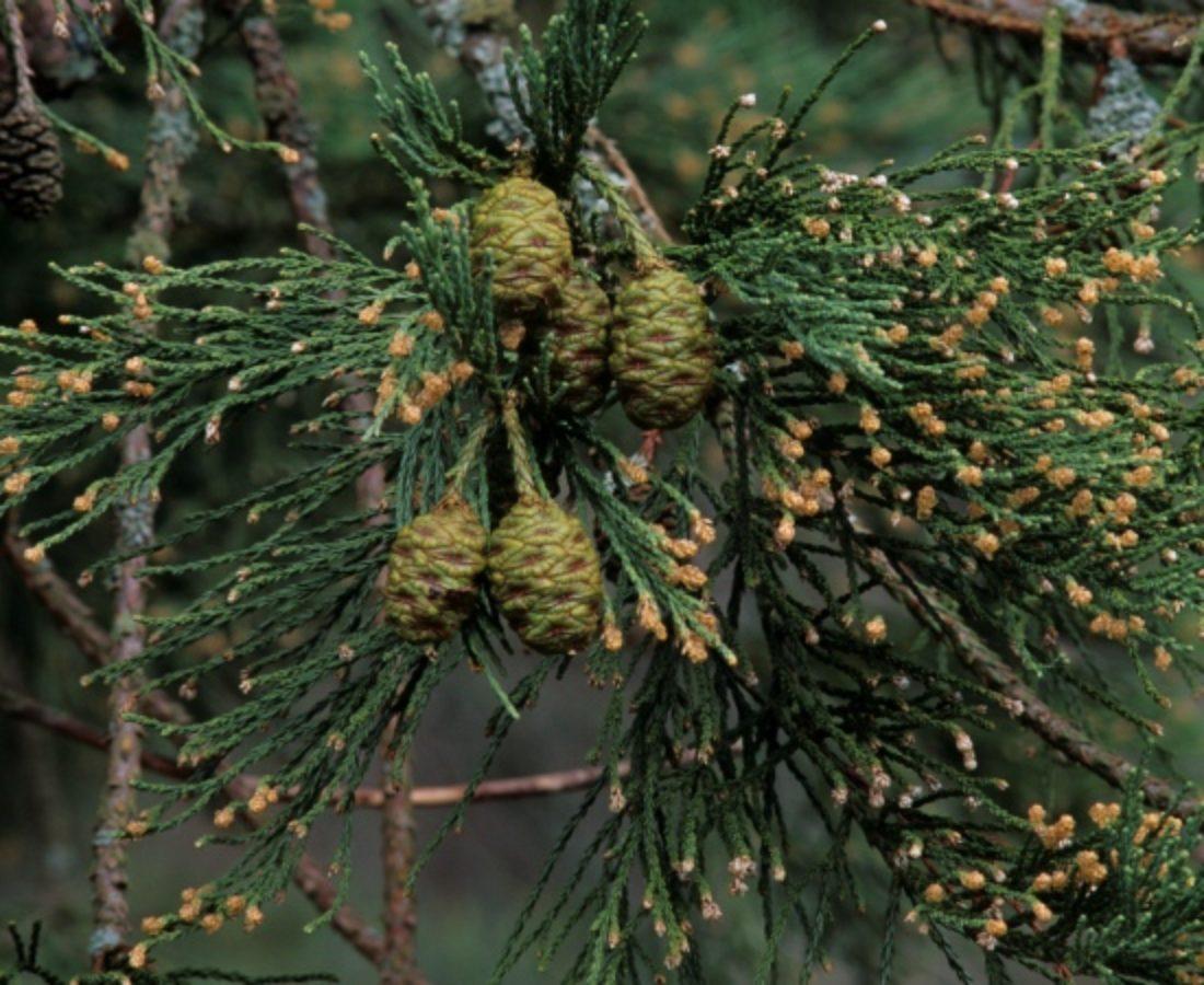 Male and female cones
