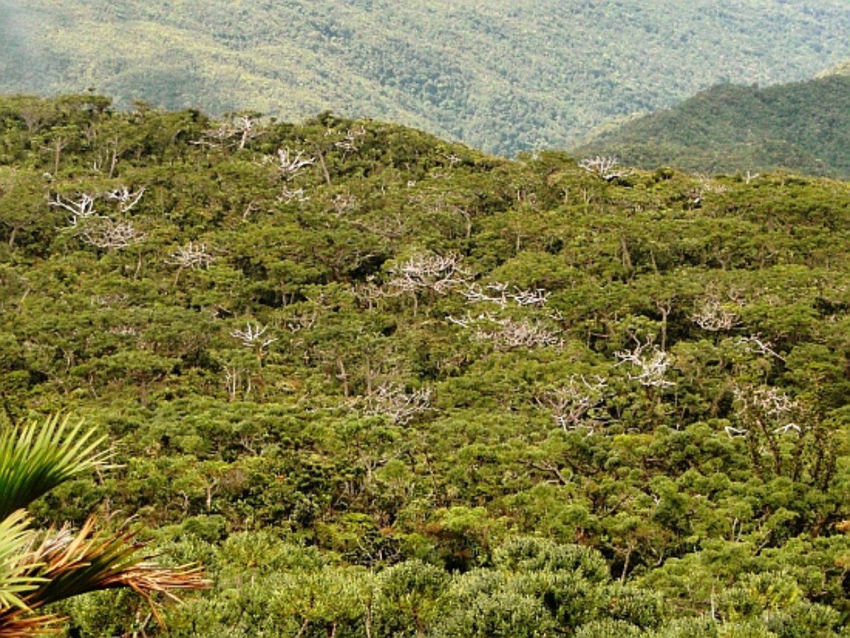Dieback in Agathis montana stands, Mt. Panié