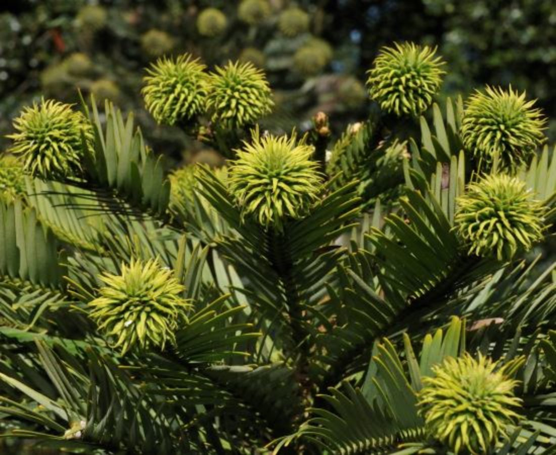 Female seed cones