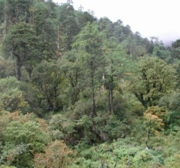 <p><em>Larix</em> in mixed conifer forest, Gaoligongshan</p>