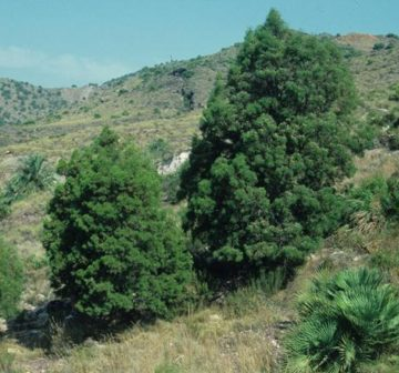 Trees with <em>Chamaerops humilis</em> - Spain