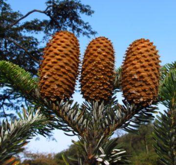 Mature seed cones