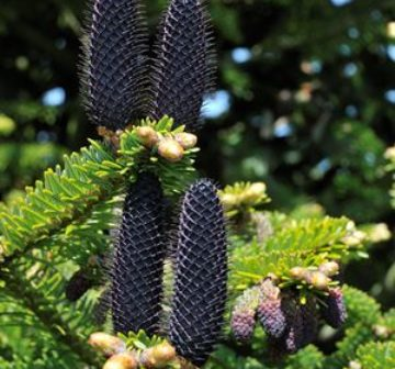 Immature seed cone (Bedgebury Pinetum)