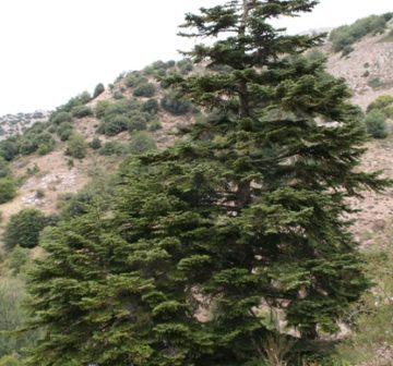 Mature tree on Mt. Scalone