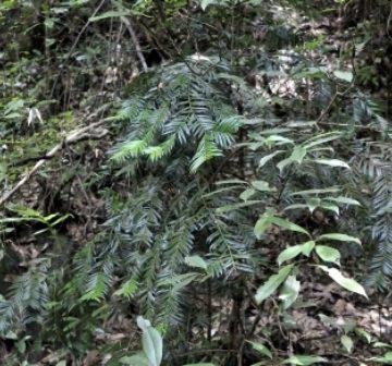 <p>Amentotaxus foliage, Jinggangshan</p>