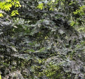 <p>Mature tree</p>