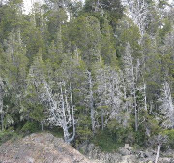 <p>Dying trees due to <em>Phytopthora austrocedra</em>e - Llao Llao, Argentina (2017)<br /></p>