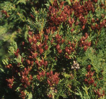 <p>Mature female seed cones<br /></p>