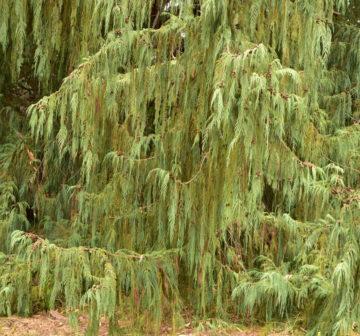 <p>Cultivated. California: Torrey Pines</p>
