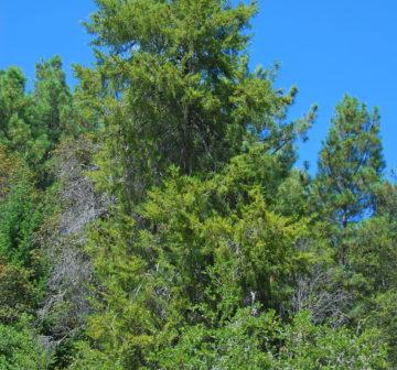 <p>C goveniana var. abramsiana (California: Bonny Doon)</p>