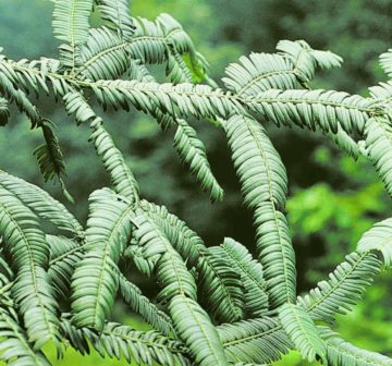<p>China: Sichuan Province; Emei Shan. Upper foliage surface.</p>