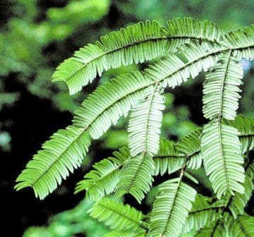 <p>China: Sichuan Province; Emei Shan. Lower foliage surface.</p>