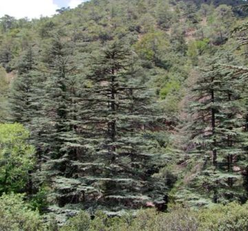 Trees in Paphos Forest, Cyprus