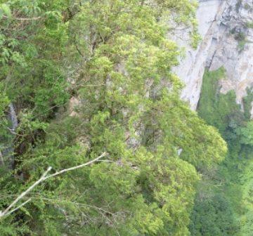 Mature tree. Guangxi, China
