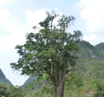 <p>Remnant tree, Guangxi (China)</p>