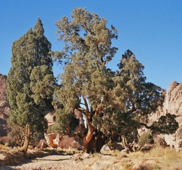 var. dupreziana on the Tassili Plateau, Algeria