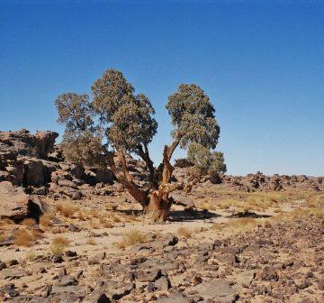 Trees in the Tassili Plateau, Algeria