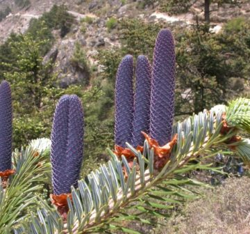 Young female cones. Nepal, Khumbu District
