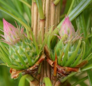 Developing female cones; Bedgebury Pinetum