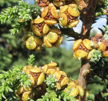 Female cones