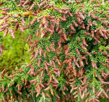 <p>Cultivated, Benmore Botanic Garden<br /></p>