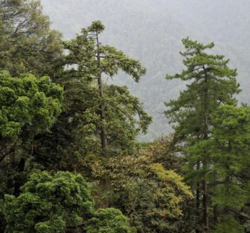 <p>Bijia Shan, Jiangxi (with <em>Cunninghamia lanceolata</em> & <em>Pinus hwangshanensis</em>)</p>