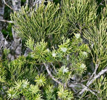 <p>Juvenile and adult foliage</p>