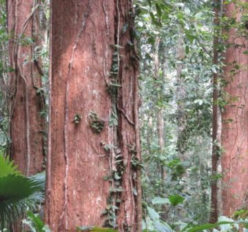 Old-growth trees, Nakai Plateau Lao PDR