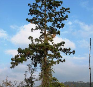 Old-growth tree, Nakai Plateau Lao PDR