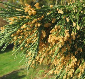 Pollen-shedding male cones