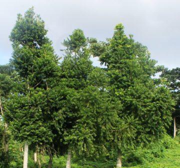 <p>Plantation near Port Vila Vanuatu</p>