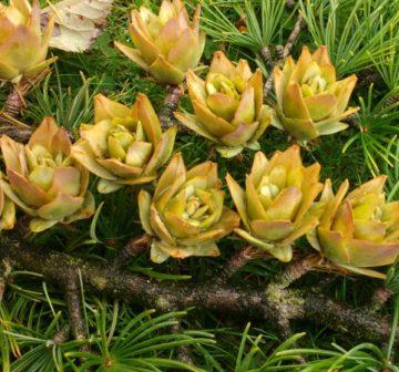 Mature seed cones, Bedgebury Pinetum