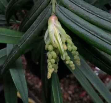 <p>Developing male pollen cones</p>
