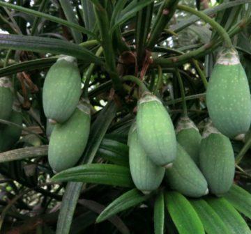 Immature seed cones