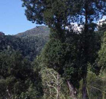 Mature tree - Jamaica