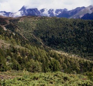 <p><em>J. pingii</em> and other conifers, Baima Shan</p>
