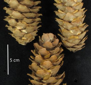 <p>Yunnan; ex RBGE herbarium<br /></p>