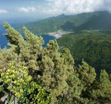 <p>Mature tree on summit of Petite Piton<br /></p>