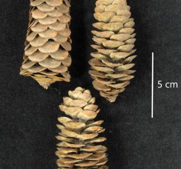 <p>Siskiyou Mountains.Ex RBGE herbarium<br /></p>