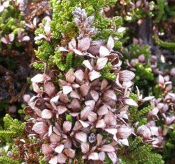 Mature female seed-cones