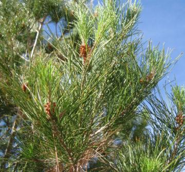<p>Cultivated: Pheonix, Arizona</p>