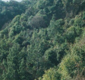 Pinus squamata stand