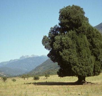 Old-growth tree in the Alto Biobío