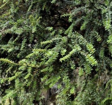 <p>Foliage, Bijia Shan</p>